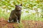 Rottenecker Bronzefigur Katze groß sitzend