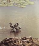 Rottenecker Bronzefigur 3 Entenkinder, Nestflüchter