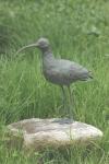 Rottenecker Bronzefigur Brachvogel
