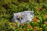 Rottenecker Edelweiß klein auf Schwarzwaldgranit