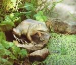 Rottenecker Bronzefigur Frosch, wasserspeiend
